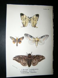 Allen & Kirby 1890's Antique Moth Print. Therinia Podliriaria
